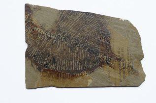 3. Pleuronectes platessa #2, 19 x 13cm, linocut on collaged paper on slate